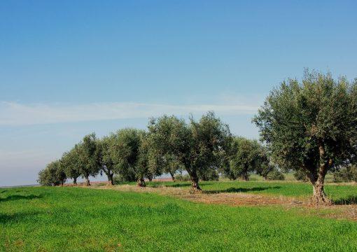 Bactéria que destrói oliveiras chegou a Portugal